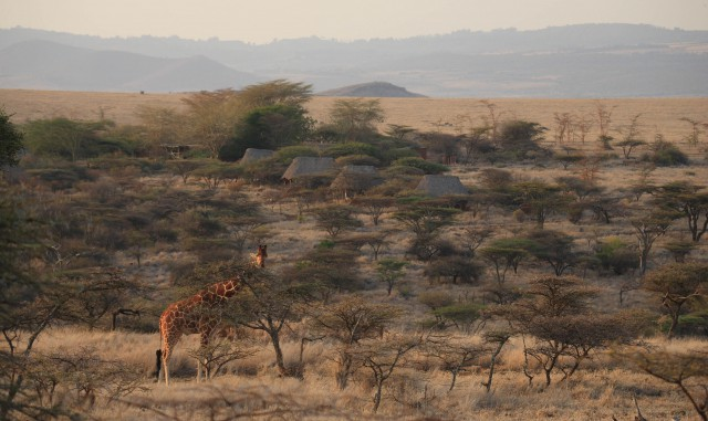 Lewa Safari Camp - Giraffe in front of Camp